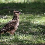 Foxy_Fox_Bariloche_Patagonia_Bird