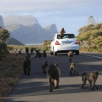 Foxy_Fox_CapeTown_Baboons