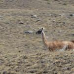 Foxy_Fox_ElCalafate_Alpaca