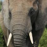 Foxy_Fox_JBAY_Addo_Elephant