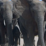 Foxy_Fox_JBAY_Elephants2