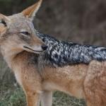 Foxy_Fox_JBAY_Jackel2