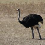Foxy_Fox_JBAY_Ostrich
