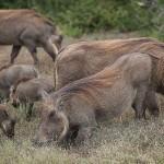 Foxy_Fox_JBAY_Pigs