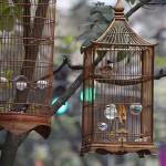 Foxy_Fox_Hanoi_Birds