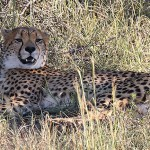 Foxy_Fox_Madikwe_Cheetah