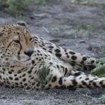 Foxy_Fox_Madikwe_Cheetah_1