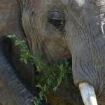 Foxy_Fox_Madikwe_Elephant_1