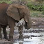 Foxy_Fox_Madikwe_Elephant_2