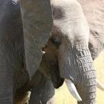 Foxy_Fox_Madikwe_Elephant_3