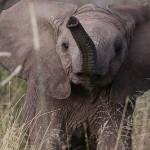 Foxy_Fox_Madikwe_Elephant_4