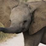 Foxy_Fox_Madikwe_Elephant_5