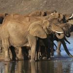 Foxy_Fox_Madikwe_Elephant_6
