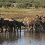 Foxy_Fox_Madikwe_Elephant_7