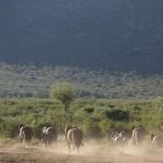 Foxy_Fox_Madikwe_Elephant_8