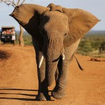 Foxy_Fox_Madikwe_Elephant_Charging