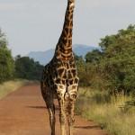 Foxy_Fox_Madikwe_Giraffe_1