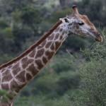 Foxy_Fox_Madikwe_Giraffe_2