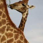 Foxy_Fox_Madikwe_Giraffe_3