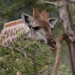 Foxy_Fox_Madikwe_Giraffe_4