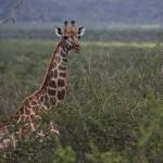 Foxy_Fox_Madikwe_Giraffe_5