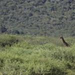 Foxy_Fox_Madikwe_Giraffe_6