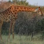 Foxy_Fox_Madikwe_Giraffe_7