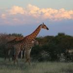 Foxy_Fox_Madikwe_Giraffe_8