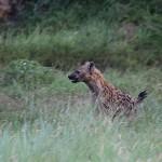 Foxy_Fox_Madikwe_Hyena2