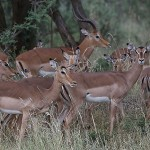Foxy_Fox_Madikwe_Impala_1