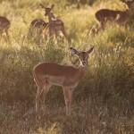 Foxy_Fox_Madikwe_Impala_3
