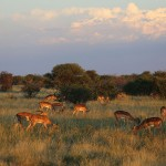 Foxy_Fox_Madikwe_Impala_4