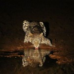 Foxy_Fox_Madikwe_Leopard_3