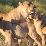 Foxy_Fox_Madikwe_Lion_10