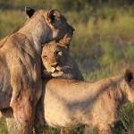 Foxy_Fox_Madikwe_Lion_12