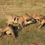Foxy_Fox_Madikwe_Lion_13