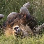 Foxy_Fox_Madikwe_Lion_2