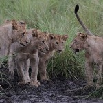Foxy_Fox_Madikwe_Lion_3