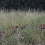 Foxy_Fox_Madikwe_Lion_4