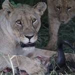 Foxy_Fox_Madikwe_Lion_5