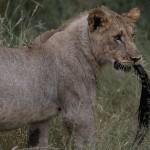 Foxy_Fox_Madikwe_Lion_6