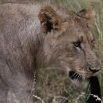 Foxy_Fox_Madikwe_Lion_7