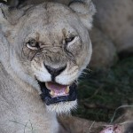 Foxy_Fox_Madikwe_Lion_8