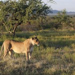 Foxy_Fox_Madikwe_Lion_9