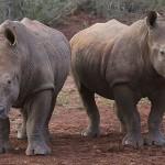 Foxy_Fox_Madikwe_Rhino_1