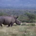 Foxy_Fox_Madikwe_Rhino_2