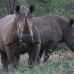 Foxy_Fox_Madikwe_Rhino_3