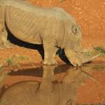 Foxy_Fox_Madikwe_Rhino_4