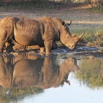 Foxy_Fox_Madikwe_Rhino_5