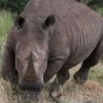 Foxy_Fox_Madikwe_Rhino_Charging
